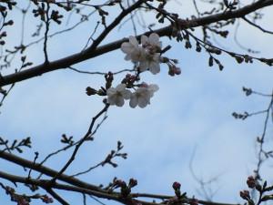 新井薬師公園の桜