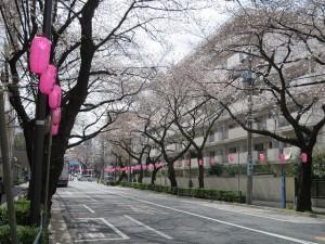 中野通りの桜(3/29)